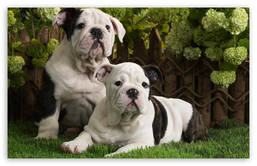 Bulldog Puppies HD wallpaper for Wide 16:10 5:3 Widescreen WHXGA WQXGA WUXGA WXGA WGA ; HD 16:9 High Definition WQHD QWXGA 1080p 900p 720p QHD nHD ; Standard 4:3 5:4 3:2 Fullscreen UXGA XGA SVGA QSXGA SXGA DVGA HVGA HQVGA devices ( Apple PowerBook G4 iPhone 4 3G 3GS iPod Touch ) ; iPad 1/2/Mini ; Mobile 4:3 5:3 3:2 16:9 5:4 - UXGA XGA SVGA WGA DVGA HVGA HQVGA devices ( Apple PowerBook G4 iPhone 4 3G 3GS iPod Touch ) WQHD QWXGA 1080p 900p 720p QHD nHD QSXGA SXGA ;
