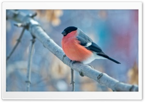 Bullfinch Winter HD Wide Wallpaper for 4K UHD Widescreen desktop & smartphone
