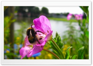 Bumble Bee HD Wide Wallpaper for Widescreen