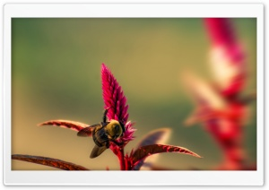 Bumble Bee Insect HD Wide Wallpaper for Widescreen