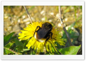 Bumble Bee Sitting On A Dandelion Flower HD Wide Wallpaper for Widescreen