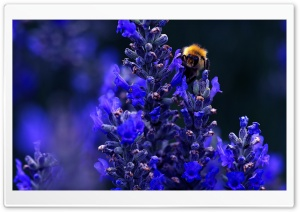 Bumblebee HD Wide Wallpaper for Widescreen