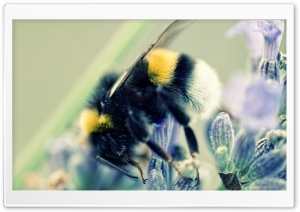 Bumblebee and Lavender HD Wide Wallpaper for Widescreen