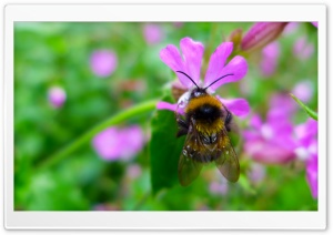 Bumblebee Collects Nectar HD Wide Wallpaper for Widescreen