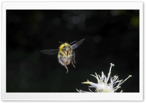Bumblebee In Flight   Macro Photography HD Wide Wallpaper for Widescreen