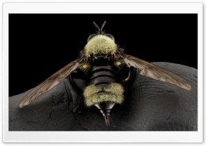 Bumblebee Mimic Robber Fly, Laphria Posticata HD Wide Wallpaper for Widescreen