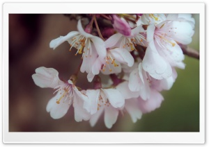 Bundle Of Cherry Flowers HD Wide Wallpaper for Widescreen