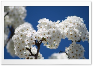 Bundles Of Cherry Flowers HD Wide Wallpaper for Widescreen