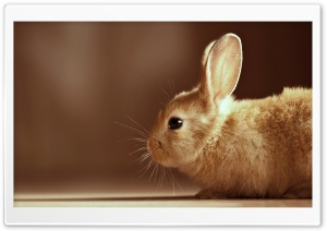 Bunny HD Wide Wallpaper for Widescreen