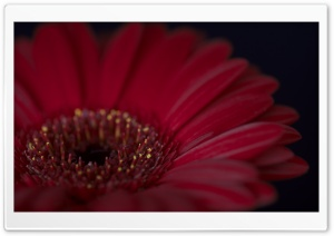Burgundy Gerbera Daisy Flower HD Wide Wallpaper for Widescreen