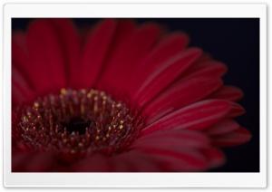 Burgundy Gerbera Daisy Flower HD Wide Wallpaper for 4K UHD Widescreen desktop & smartphone