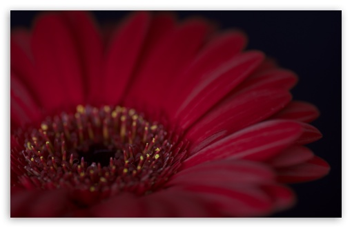 Burgundy Gerbera Daisy Flower ❤ 4K UHD Wallpaper for Wide 16:10 5:3 Widescreen WHXGA WQXGA WUXGA WXGA WGA ; 4K UHD 16:9 Ultra High Definition 2160p 1440p 1080p 900p 720p ; UHD 16:9 2160p 1440p 1080p 900p 720p ; Standard 4:3 5:4 3:2 Fullscreen UXGA XGA SVGA QSXGA SXGA DVGA HVGA HQVGA ( Apple PowerBook G4 iPhone 4 3G 3GS iPod Touch ) ; Smartphone 5:3 WGA ; Tablet 1:1 ; iPad 1/2/Mini ; Mobile 4:3 5:3 3:2 16:9 5:4 - UXGA XGA SVGA WGA DVGA HVGA HQVGA ( Apple PowerBook G4 iPhone 4 3G 3GS iPod Touch ) 2160p 1440p 1080p 900p 720p QSXGA SXGA ;