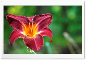 Burgundy Lily Flower HD Wide Wallpaper for Widescreen