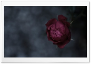 Burgundy Rose HD Wide Wallpaper for Widescreen