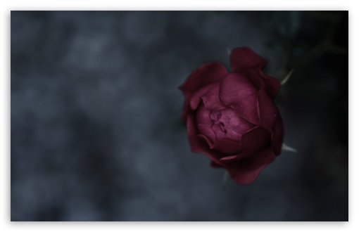 Burgundy Rose HD wallpaper for Wide 16:10 5:3 Widescreen WHXGA WQXGA WUXGA WXGA WGA ; HD 16:9 High Definition WQHD QWXGA 1080p 900p 720p QHD nHD ; Standard 4:3 5:4 3:2 Fullscreen UXGA XGA SVGA QSXGA SXGA DVGA HVGA HQVGA devices ( Apple PowerBook G4 iPhone 4 3G 3GS iPod Touch ) ; Tablet 1:1 ; iPad 1/2/Mini ; Mobile 4:3 5:3 3:2 16:9 5:4 - UXGA XGA SVGA WGA DVGA HVGA HQVGA devices ( Apple PowerBook G4 iPhone 4 3G 3GS iPod Touch ) WQHD QWXGA 1080p 900p 720p QHD nHD QSXGA SXGA ; Dual 16:10 5:3 16:9 4:3 5:4 WHXGA WQXGA WUXGA WXGA WGA WQHD QWXGA 1080p 900p 720p QHD nHD UXGA XGA SVGA QSXGA SXGA ;