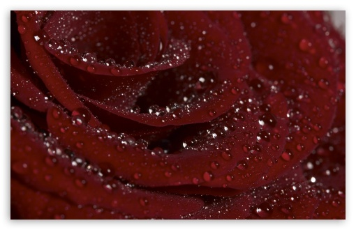 Burgundy Rose HD wallpaper for Wide 16:10 5:3 Widescreen WHXGA WQXGA WUXGA WXGA WGA ; HD 16:9 High Definition WQHD QWXGA 1080p 900p 720p QHD nHD ; Standard 4:3 5:4 3:2 Fullscreen UXGA XGA SVGA QSXGA SXGA DVGA HVGA HQVGA devices ( Apple PowerBook G4 iPhone 4 3G 3GS iPod Touch ) ; iPad 1/2/Mini ; Mobile 4:3 5:3 3:2 16:9 5:4 - UXGA XGA SVGA WGA DVGA HVGA HQVGA devices ( Apple PowerBook G4 iPhone 4 3G 3GS iPod Touch ) WQHD QWXGA 1080p 900p 720p QHD nHD QSXGA SXGA ;