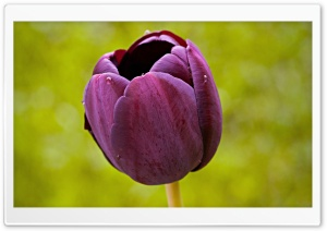 Burgundy Tulip Flower HD Wide Wallpaper for Widescreen