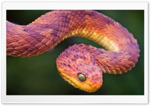 Bush Viper HD Wide Wallpaper for Widescreen