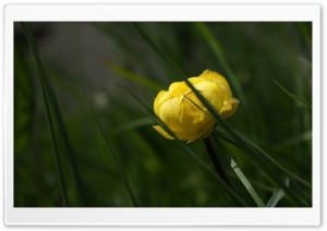 Buttercup HD Wide Wallpaper for Widescreen
