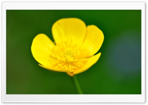 Buttercup Flower Macro HD Wide Wallpaper for Widescreen