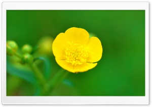Buttercup Flower Macro, Spring, Green Background HD Wide Wallpaper for Widescreen