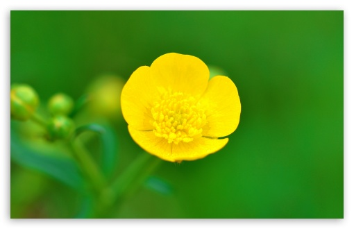 Buttercup Flower Macro, Spring, Green Background ❤ 4K UHD Wallpaper for Wide 16:10 5:3 Widescreen WHXGA WQXGA WUXGA WXGA WGA ; 4K UHD 16:9 Ultra High Definition 2160p 1440p 1080p 900p 720p ; UHD 16:9 2160p 1440p 1080p 900p 720p ; Standard 4:3 5:4 3:2 Fullscreen UXGA XGA SVGA QSXGA SXGA DVGA HVGA HQVGA ( Apple PowerBook G4 iPhone 4 3G 3GS iPod Touch ) ; Smartphone 5:3 WGA ; Tablet 1:1 ; iPad 1/2/Mini ; Mobile 4:3 5:3 3:2 16:9 5:4 - UXGA XGA SVGA WGA DVGA HVGA HQVGA ( Apple PowerBook G4 iPhone 4 3G 3GS iPod Touch ) 2160p 1440p 1080p 900p 720p QSXGA SXGA ; Dual 16:10 5:3 16:9 4:3 5:4 WHXGA WQXGA WUXGA WXGA WGA 2160p 1440p 1080p 900p 720p UXGA XGA SVGA QSXGA SXGA ;
