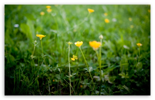 Buttercup Flowers HD wallpaper for Wide 16:10 5:3 Widescreen WHXGA WQXGA WUXGA WXGA WGA ; HD 16:9 High Definition WQHD QWXGA 1080p 900p 720p QHD nHD ; UHD 16:9 WQHD QWXGA 1080p 900p 720p QHD nHD ; Standard 4:3 5:4 3:2 Fullscreen UXGA XGA SVGA QSXGA SXGA DVGA HVGA HQVGA devices ( Apple PowerBook G4 iPhone 4 3G 3GS iPod Touch ) ; Tablet 1:1 ; iPad 1/2/Mini ; Mobile 4:3 5:3 3:2 16:9 5:4 - UXGA XGA SVGA WGA DVGA HVGA HQVGA devices ( Apple PowerBook G4 iPhone 4 3G 3GS iPod Touch ) WQHD QWXGA 1080p 900p 720p QHD nHD QSXGA SXGA ; Dual 16:10 5:4 WHXGA WQXGA WUXGA WXGA QSXGA SXGA ;