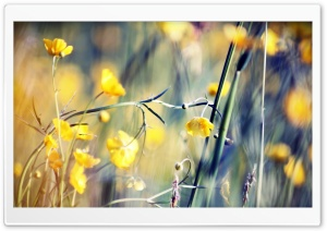 Buttercups HD Wide Wallpaper for 4K UHD Widescreen desktop & smartphone