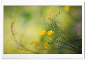 Buttercups Flowers HD Wide Wallpaper for Widescreen