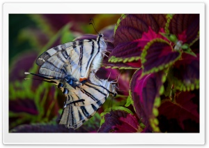 Butterflies in Love Ultra HD Wallpaper for 4K UHD Widescreen desktop, tablet & smartphone