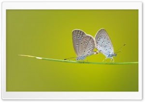 Butterflies Mating HD Wide Wallpaper for Widescreen