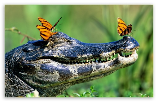 Butterflies Resting On A Caiman, Brazil HD wallpaper for Wide 16:10 5:3 Widescreen WHXGA WQXGA WUXGA WXGA WGA ; HD 16:9 High Definition WQHD QWXGA 1080p 900p 720p QHD nHD ; Standard 4:3 3:2 Fullscreen UXGA XGA SVGA DVGA HVGA HQVGA devices ( Apple PowerBook G4 iPhone 4 3G 3GS iPod Touch ) ; iPad 1/2/Mini ; Mobile 4:3 5:3 3:2 16:9 - UXGA XGA SVGA WGA DVGA HVGA HQVGA devices ( Apple PowerBook G4 iPhone 4 3G 3GS iPod Touch ) WQHD QWXGA 1080p 900p 720p QHD nHD ;