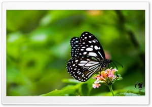 Butterfly HD Wide Wallpaper for 4K UHD Widescreen desktop & smartphone