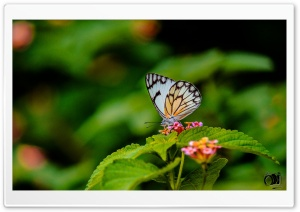 Butterfly HD Wide Wallpaper for Widescreen