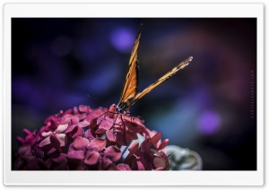 Butterfly - 1 HD Wide Wallpaper for 4K UHD Widescreen desktop & smartphone