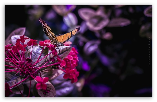 Butterfly - 2 ❤ 4K UHD Wallpaper for Wide 16:10 5:3 Widescreen WHXGA WQXGA WUXGA WXGA WGA ; 4K UHD 16:9 Ultra High Definition 2160p 1440p 1080p 900p 720p ; Standard 3:2 Fullscreen DVGA HVGA HQVGA ( Apple PowerBook G4 iPhone 4 3G 3GS iPod Touch ) ; Tablet 1:1 ; Mobile 5:3 3:2 16:9 - WGA DVGA HVGA HQVGA ( Apple PowerBook G4 iPhone 4 3G 3GS iPod Touch ) 2160p 1440p 1080p 900p 720p ;