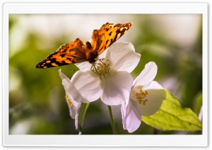 Butterfly and Flowers HD Wide Wallpaper for Widescreen