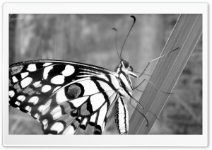 Butterfly by Shoaib Photography HD Wide Wallpaper for Widescreen