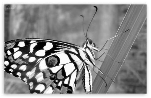 Butterfly by Shoaib Photography HD wallpaper for Wide 16:10 Widescreen WHXGA WQXGA WUXGA WXGA ; Standard 4:3 5:4 3:2 Fullscreen UXGA XGA SVGA QSXGA SXGA DVGA HVGA HQVGA devices ( Apple PowerBook G4 iPhone 4 3G 3GS iPod Touch ) ; iPad 1/2/Mini ; Mobile 4:3 3:2 5:4 - UXGA XGA SVGA DVGA HVGA HQVGA devices ( Apple PowerBook G4 iPhone 4 3G 3GS iPod Touch ) QSXGA SXGA ;