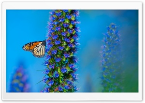 Butterfly California HD Wide Wallpaper for Widescreen