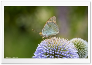Butterfly, Flower HD Wide Wallpaper for Widescreen