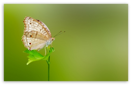 Butterfly Green Background ❤ 4K UHD Wallpaper for Wide 16:10 5:3 Widescreen WHXGA WQXGA WUXGA WXGA WGA ; 4K UHD 16:9 Ultra High Definition 2160p 1440p 1080p 900p 720p ; UHD 16:9 2160p 1440p 1080p 900p 720p ; Standard 4:3 5:4 3:2 Fullscreen UXGA XGA SVGA QSXGA SXGA DVGA HVGA HQVGA ( Apple PowerBook G4 iPhone 4 3G 3GS iPod Touch ) ; Smartphone 5:3 WGA ; Tablet 1:1 ; iPad 1/2/Mini ; Mobile 4:3 5:3 3:2 16:9 5:4 - UXGA XGA SVGA WGA DVGA HVGA HQVGA ( Apple PowerBook G4 iPhone 4 3G 3GS iPod Touch ) 2160p 1440p 1080p 900p 720p QSXGA SXGA ; Dual 16:10 5:3 16:9 4:3 5:4 WHXGA WQXGA WUXGA WXGA WGA 2160p 1440p 1080p 900p 720p UXGA XGA SVGA QSXGA SXGA ;