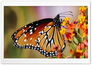 Butterfly In Arizona HD Wide Wallpaper for Widescreen