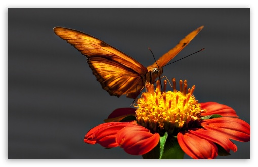 Butterfly Macro HD wallpaper for Wide 16:10 5:3 Widescreen WHXGA WQXGA WUXGA WXGA WGA ; HD 16:9 High Definition WQHD QWXGA 1080p 900p 720p QHD nHD ; UHD 16:9 WQHD QWXGA 1080p 900p 720p QHD nHD ; Standard 4:3 5:4 3:2 Fullscreen UXGA XGA SVGA QSXGA SXGA DVGA HVGA HQVGA devices ( Apple PowerBook G4 iPhone 4 3G 3GS iPod Touch ) ; Tablet 1:1 ; iPad 1/2/Mini ; Mobile 4:3 5:3 3:2 16:9 5:4 - UXGA XGA SVGA WGA DVGA HVGA HQVGA devices ( Apple PowerBook G4 iPhone 4 3G 3GS iPod Touch ) WQHD QWXGA 1080p 900p 720p QHD nHD QSXGA SXGA ;