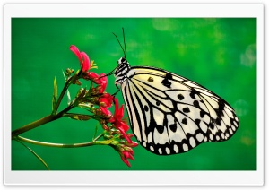 Butterfly, Nature Ultra HD Wallpaper for 4K UHD Widescreen desktop, tablet & smartphone