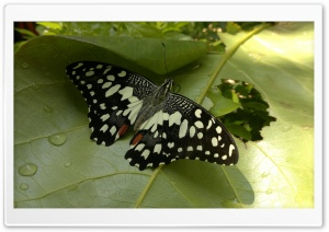 Butterfly On A Leaf HD Wide Wallpaper for Widescreen