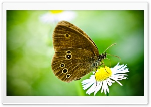 Butterfly On A Wild Daisy HD Wide Wallpaper for Widescreen