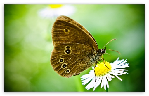 Butterfly On A Wild Daisy HD wallpaper for Wide 16:10 5:3 Widescreen WHXGA WQXGA WUXGA WXGA WGA ; HD 16:9 High Definition WQHD QWXGA 1080p 900p 720p QHD nHD ; Standard 4:3 5:4 3:2 Fullscreen UXGA XGA SVGA QSXGA SXGA DVGA HVGA HQVGA devices ( Apple PowerBook G4 iPhone 4 3G 3GS iPod Touch ) ; Tablet 1:1 ; iPad 1/2/Mini ; Mobile 4:3 5:3 3:2 16:9 5:4 - UXGA XGA SVGA WGA DVGA HVGA HQVGA devices ( Apple PowerBook G4 iPhone 4 3G 3GS iPod Touch ) WQHD QWXGA 1080p 900p 720p QHD nHD QSXGA SXGA ;