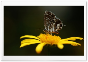 Butterfly On A Yellow Flower HD Wide Wallpaper for Widescreen