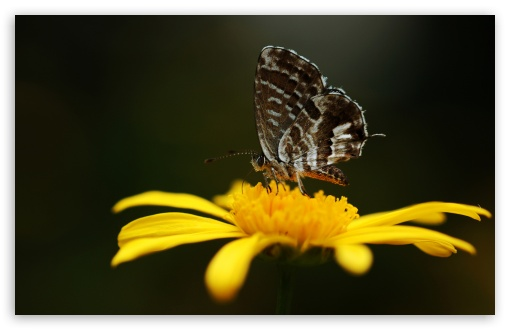 Butterfly On A Yellow Flower HD wallpaper for Wide 16:10 5:3 Widescreen WHXGA WQXGA WUXGA WXGA WGA ; HD 16:9 High Definition WQHD QWXGA 1080p 900p 720p QHD nHD ; Standard 4:3 5:4 3:2 Fullscreen UXGA XGA SVGA QSXGA SXGA DVGA HVGA HQVGA devices ( Apple PowerBook G4 iPhone 4 3G 3GS iPod Touch ) ; Tablet 1:1 ; iPad 1/2/Mini ; Mobile 4:3 5:3 3:2 16:9 5:4 - UXGA XGA SVGA WGA DVGA HVGA HQVGA devices ( Apple PowerBook G4 iPhone 4 3G 3GS iPod Touch ) WQHD QWXGA 1080p 900p 720p QHD nHD QSXGA SXGA ;